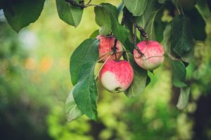 Pick Your Own Apples in Upstate NY